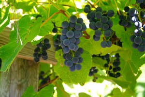 Winehaven Chisago Grapes